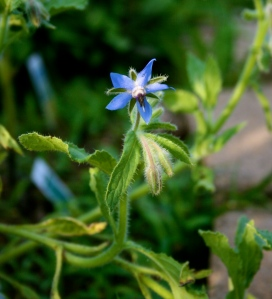One of the wee herbs struggling for life: Borage